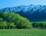 UTAH. USA. Willow trees in spring below Wellsville Mountains. Near Mendon. Cache Valley.