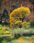 ZION NATIONAL PARK, UTAH. USA. Fremont cottonwood (Populus fremonti) in autumn along the Virgin River. Zion Canyon. Colorado Plateau.
