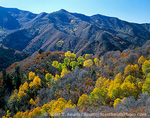 UTAH. USA. Aspen trees, oak brush, & conifers in autumn. Slopes above Middle Canyon. Oquirrh Mountains. Wasatch-Cache National Forest.