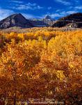 UTAH. USA. Aspen trees (Populus tremuloides) on slopes below Mt. Timpanogos. Wasatch Mountains. Uinta National Forest.