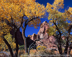UTAH. USA. Fremont cottonwoods (Populus fremonti) in autumn frames pinnacle along canyon wall. Flood plain in canyon of Muddy Creek. Muddy Creek BLM Wilderness Study Area. San Rafael Swell.