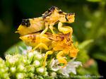 Mating ambush bugs (Phymata spp,). Utah. USA.