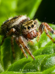 Jumping spider (Phidippus spp.). Utah. USA.