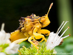Ambush bug (Phymata spp,). Utah. USA.