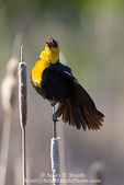 UTAH. USA. Male yellow-headed blackbird (Xanthocephalus xanthocephalus) give territorial call while on cattail. Cache Valley. Great Basin.