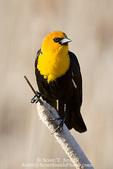 UTAH. USA. Male yellow-headed blackbird (Xanthocephalus xanthocephalus) on cattail. Cache Valley. Great Basin.