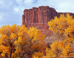 CANYONLANDS NATIONAL PARK, UTAH. USA. Cottonwood trees in autumn below cliffs of Wingate Sandstone. Potato Bottom in Green River flood plain.