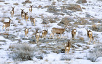 UTAH. USA. Mule deer does & fawns (Odocoileus hemionus) in winter. Promontory Mountains. Great Basin.