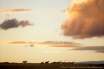 WYOMING. USA. Bull elk & harem (Cervus elaphus) below dissipating clouds at dusk. Grassland on the Continental Divide near South Pass. Red Desert.