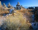 MONO BASIN NATIONAL FOREST RESERVE, CALIFORNIA. USA. Fresh snow on tufa formations & rabbitbrush along shore of Mono Lake. Mono Basin. Inyo National Forest.