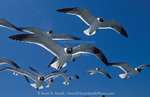 CAPE HATTERAS NATIONAL SEASHORE, NORTH CAROLINA. USA. Laughing gulls (Larus atricilla). Outer Banks.