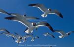 CAPE HATTERAS NATIONAL SEASHORE, NORTH CAROLINA. USA. Laughing gulls (Larus atricilla). Outer Banks.