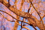 UTAH. USA. Great horned owl (Bubo virginianus) camouflaged in willow tree. Cache Valley.