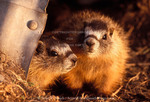 UTAH. USA. Young yellow-bellied marmots (Marmota flaviventris) living in culvert along abandoned ditch. Suburban wildlife in city of Logan.