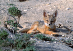 UTAH/NEVADA. USA. Kit fox pup (Vulpes macrotis) near den in Snake Valley on Utah/Nevada border. Great Basin.