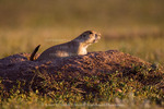 WIND CAVE NATIONAL PARK, SOUTH DAKOTA. USA. Black-tailed prairie dog (Cynomys ludovicianus) at burrow entrance. Black Hills.
