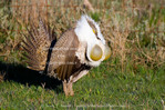 UTAH. USA. Male sage grouse (Centrocercus urophasianus) struts at lek in mating display. Male inflates yellow gular air sacs during display. Wasatch Mountains. 4 of series of 5.
