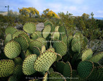 Big Bend National Park, Texas. USA. Prickly pear cactus near willows & windmill at Dugout Well.