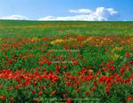 UTAH. USA. Naturalized corn poppies (Papaver rhoeas). Cache Valley.