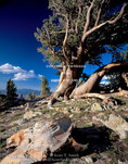 GREAT BASIN NATIONAL PARK, NEVADA. USA. Wind-blasted limber pines (Pinus flexilis). Snake Range.