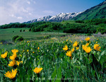 Utah. USA. Mules ears (Wyethia amplexicaulis) below Wellsville Mountains. Cache Valley.