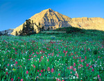 Mount Timpanogos Wilderness, Utah. USA. Wildflowers below Mount Timpanogos. Timpanogos Basin. Wasatch Mountains. Uinta-Wasatch-Cache National Forest.