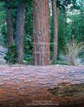 Nevada. USA. Ponderosa pines (Pinus ponderosa). Kyle Canyon. Spring Mountains. Toiyabe-Humbolt National Forest.
