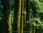 California. USA. Lichen on trunks of Douglas fir trees (Pseudotsuga menziesii) . Lassen National Forest.