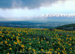 Utah. USA. View of Logan City & Cache Valley on stormy day. Large-leaf balsamroot (Balsamorhiza macrophylla) on foothills of Bear River Range. Wellsville Mountains in distance.