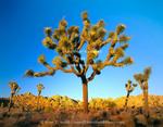 Joshua Tree National Park, California. USA. Joshua tree (Yucca brevifolia) at sunset. Mojave Desert.