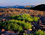 Wyoming. USA. Arnica (Arnica chamissonis) & broken rock on ridge near Mount Isabel. Salt River Range. Wyoming Range in distance. Bridger-Teton National Forest.