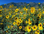 Utah. USA. Common sunflower (Helianthus annuus) below Wellsville Mountains. Cache Valley. Great Basin.