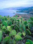 Santa Catalina Island, California. USA. Prickly pear cactus (Opuntia spp.) on ridge above Emerald Bay. Channel Islands.