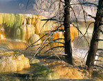 Yellowstone National Park, Utah. USA. Steaming water pours over travertine terraces that are engulfing dead lodgepole pine trees at Canary Spring. Mammoth Hot Springs.