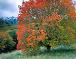 Utah. USA. Bigtooth maple tree (Acer grandidentatum) in autumn on foothills of Wellsville Mountains. Uinta-Wasatch-Cache National Forest.