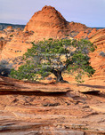 Vermillion Cliffs National Monument, Arizona. USA. Pinyon pine (Pinus edulis) growing on cross-bedded Navajo Sandstone (Triassic/Jurassic age). Coyote Buttes. Colorado Plateau.