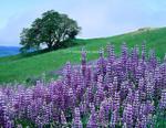 Redwood National Park, California. USA. River lupine (Lupinus rivularis) & Oregon white oak tree (Quercus garryana). Bald Hills.