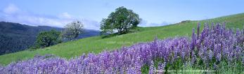 Redwood National Park, California. USA. River lupine (Lupinus rivularis) & Oregon white oak trees (Quercus garryana). Bald Hills.