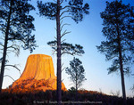 Devils Tower National Monument, Wyoming. USA. Devils Tower & ponderosa pines (Pinus ponderosa) at sunset. Black Hills.