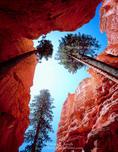 Bryce Canyon National Park, Utah. USA. Douglas fir trees (Pseudotsuga menziesii) grow toward the sun in narrow passage called Wall Street.
