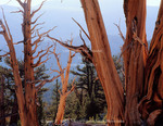 California. USA. Bristlecone pine snags & living trees (Pinus longaeva). Patriarch Grove. White Mountains. Inyo National Forest.