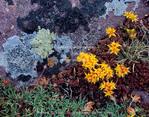 High Uintas Wilderness, Utah. USA. Detail, sedum in bloom & lichen on quarzite boulder. Tundra in Henrys Fork Basin. Uinta Mountains. Uinta-Wasatch-Cache National Forest.