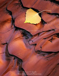 Utah. USA. Detail, fallen cottonwood leaf on sediment recently rippled by flood water. Wash in Poor Canyon. Muddy Creek BLM Wilderness Study Area. San Rafael Swell.