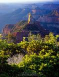 Grand Canyon National Park, Arizona. USA. Manzanita (Arctostaphylos patula) & mountain mahogany (Cercocarpus ledifolius) at Point Imperial. Mount Hayden in distance. North Rim of Grand Canyon.