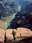 Grand Canyon National Park, Arizona. USA. Pinyon pine (Pinus edulis) growing in crack on sandstone above the Colorado River. Toroweap.