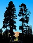 High Uintas Wilderness, Utah. USA. Old Engelmann spruce trees (Picea engelmannii). Uinta Mountains. Uinta-Wasatch-Cache National Forest.