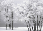UTAH. USA. Hoar frost on cottonwood trees on a foggy winter day. Rendezvous Beach. Bear Lake.