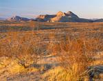 Nevada. USA. Creosote bushes (Larrea tridentata) & Lime Ridge at sunset. Mojave Desert.