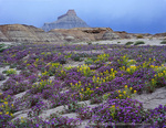 UTAH. USA. Phacelia (Phacelia demissa) & yellow bee plant (Cleome lutea) in bloom on badlands. Factory Butte in distance. Proposed Muddy Creek BLM Wilderness.