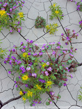 UTAH. USA. Phacelia (Phacelia demissa) & yellow bee plant (Cleome lutea) in bloom in cracked mud. Badlands near Factory Butte. Proposed Muddy Creek BLM Wilderness.